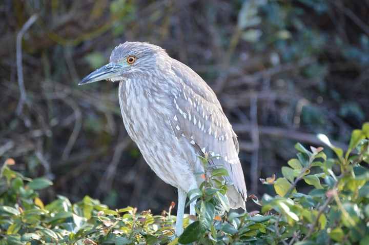 black-crowned-night-heron-589618_1920